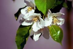 Manzano en la floración - estación de primavera Fotografía de archivo