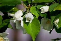 Manzano en la floración - estación de primavera Fotografía de archivo libre de regalías