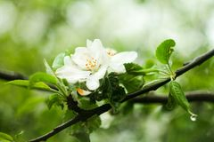 Manzano en la floración, en un día obediente, nublado Fotografía de archivo libre de regalías