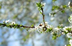 Manzano en la floración y una abeja Foto de archivo