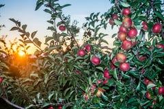 Manzano en la puesta del sol Imagen de archivo libre de regalías
