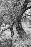 Manzano en parte roto viejo Foto de archivo