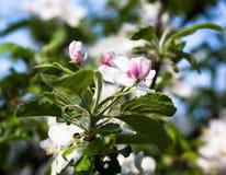 Manzano Floreciente Foto de archivo