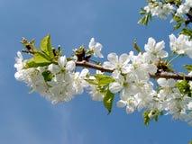 Manzano floreciente Foto de archivo libre de regalías