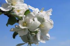 Manzano Floreciente Fotos de archivo