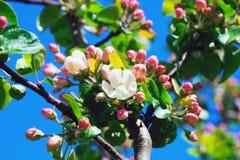Manzano Floreciente Fotografía de archivo libre de regalías