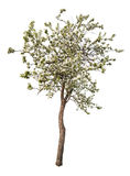 Manzano floreciente aislado del color blanco Imagen de archivo libre de regalías