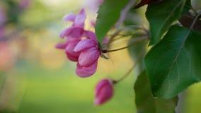 Manzano floreciente con las flores rosadas brillantes en un fondo de la hierba verde Fotografía de archivo