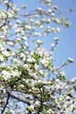 Manzano floreciente de la primavera Foto de archivo libre de regalías