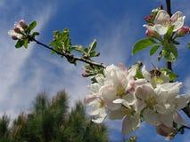 Manzano floreciente de la rama en el fondo del cielo azul Imagenes de archivo