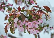 Manzano floreciente debajo de la nieve fotos de archivo