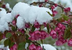 Manzano floreciente debajo de la nieve imágenes de archivo libres de regalías