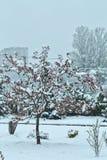 Manzano floreciente debajo de la nieve Foto de archivo