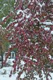 Manzano floreciente debajo de la nieve Imagen de archivo