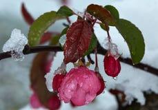 Manzano floreciente debajo de la nieve imagenes de archivo