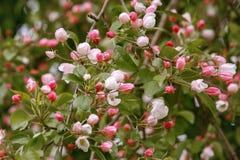 Manzano floreciente del color rosado Imágenes de archivo libres de regalías