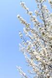 Manzano floreciente del resorte Fotografía de archivo libre de regalías