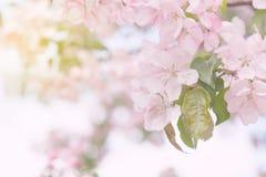 Manzano floreciente del resorte Imagen de archivo libre de regalías