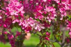 Manzano floreciente en el jardín Imágenes de archivo libres de regalías
