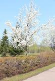 Manzano floreciente en el parque Imágenes de archivo libres de regalías