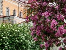 Manzano floreciente en el parque Fotografía de archivo