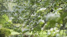 Manzano floreciente en mayo almacen de video