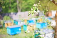 Manzano floreciente en un fondo de un colmenar en un día soleado Fotos de archivo libres de regalías