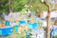 Manzano floreciente en un fondo de un colmenar en un día soleado Fotos de archivo
