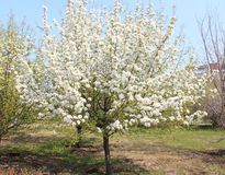 Manzano floreciente en un parque en crecimiento completo Fotos de archivo