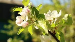 Manzano floreciente Flor blanca del tiro macro en el viento metrajes