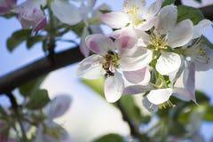 Manzano Floreciente La abeja Foto de archivo