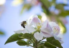 Manzano Floreciente La abeja Imagen de archivo