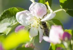 Manzano Floreciente La abeja Foto de archivo libre de regalías