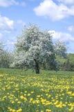Manzano floreciente viejo en un campo de dientes de león imagenes de archivo