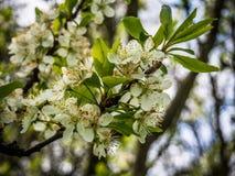 Manzano floreciente y la abeja Imagen de archivo libre de regalías