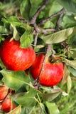 Manzanas rojas maduras hermosas en la rama Imagen de archivo