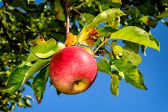 Manzano jugoso de la fruta Jonadared en el jardín en la cabaña Foto de archivo