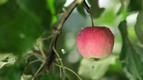 Manzano mojado de la lluvia Lluvia en el manzanar metrajes