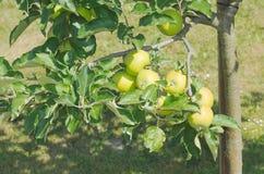 Manzano verde Imagen de archivo libre de regalías