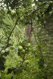 Manzano verde Foto de archivo libre de regalías