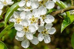 Manzano y abeja florecientes que se sientan en la flor Fotos de archivo