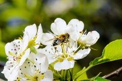 Manzano y abeja florecientes que se sientan en la flor Imagen de archivo libre de regalías
