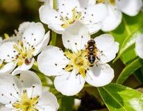 Manzano y abeja florecientes que se sientan en la flor Fotografía de archivo