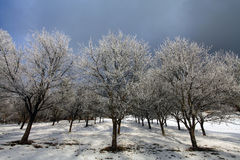 Manzanos congelados en invierno Foto de archivo libre de regalías