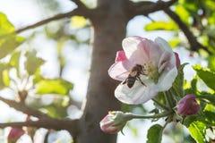 Manzanos de la primavera Imagen de archivo
