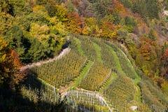 Manzanos en Val di Non, Trentino Alto Adige, Italia en tiempo del otoño Fotos de archivo libres de regalías