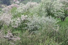 Manzanos florecidos Naturaleza en Tekeli imagen de archivo