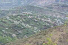 Manzanos florecidos Naturaleza en Tekeli imágenes de archivo libres de regalías