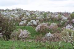 Manzanos florecidos Naturaleza en Tekeli fotografía de archivo