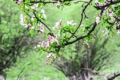 Manzanos florecidos Naturaleza en Tekeli Primavera kazakhstan fotos de archivo